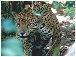 Click here for more details on the Jaguar - Picture: USFWS / Gary Stolz