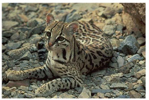 Click here for more details on the Ocelot